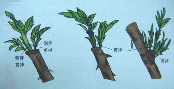 腊梅树修剪图解