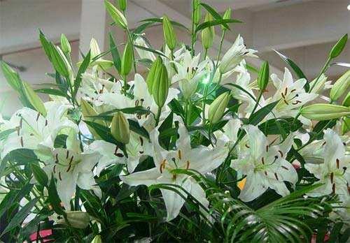 盆栽百合怎么种植?百合在花盆在怎么养护?