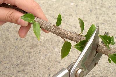 图文教你怎么扦插植物繁殖