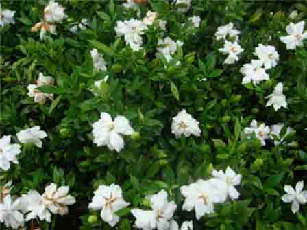 在屋顶种上几树栀子,从春天赏到夏天,一朵朵白色的小花,清丽