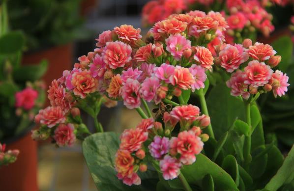 水培长寿花的叶子不发根,这是怎么回事?怎样养好长寿花?