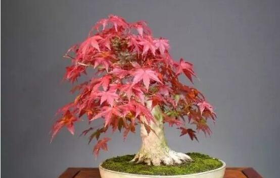 扦插红枫、槭树什么时间好,有什么要点,秋季扦插可以吗?