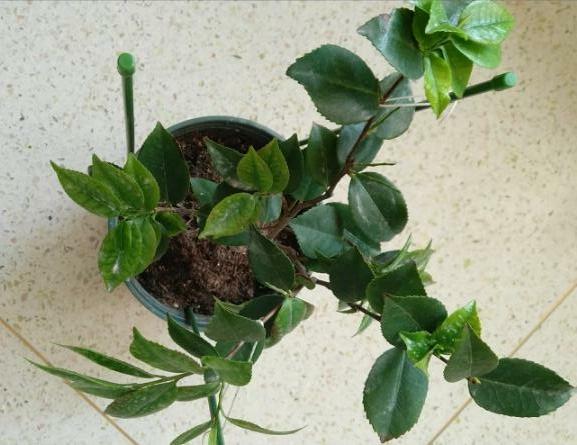 茶花掉叶子干枯是怎么回事图片